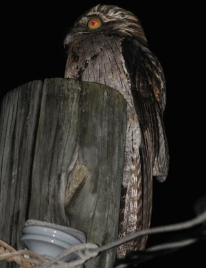 Northern Potoo- E Hynes