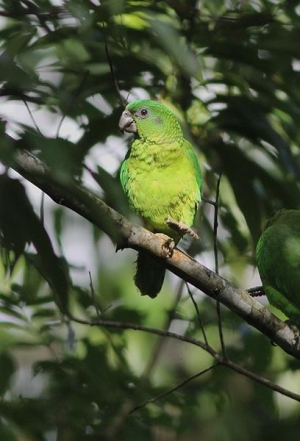 Black-billed Parrot (Eric Hynes)