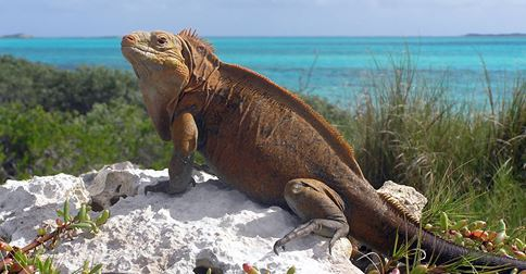 Critically endangered Jamaican Iguana
