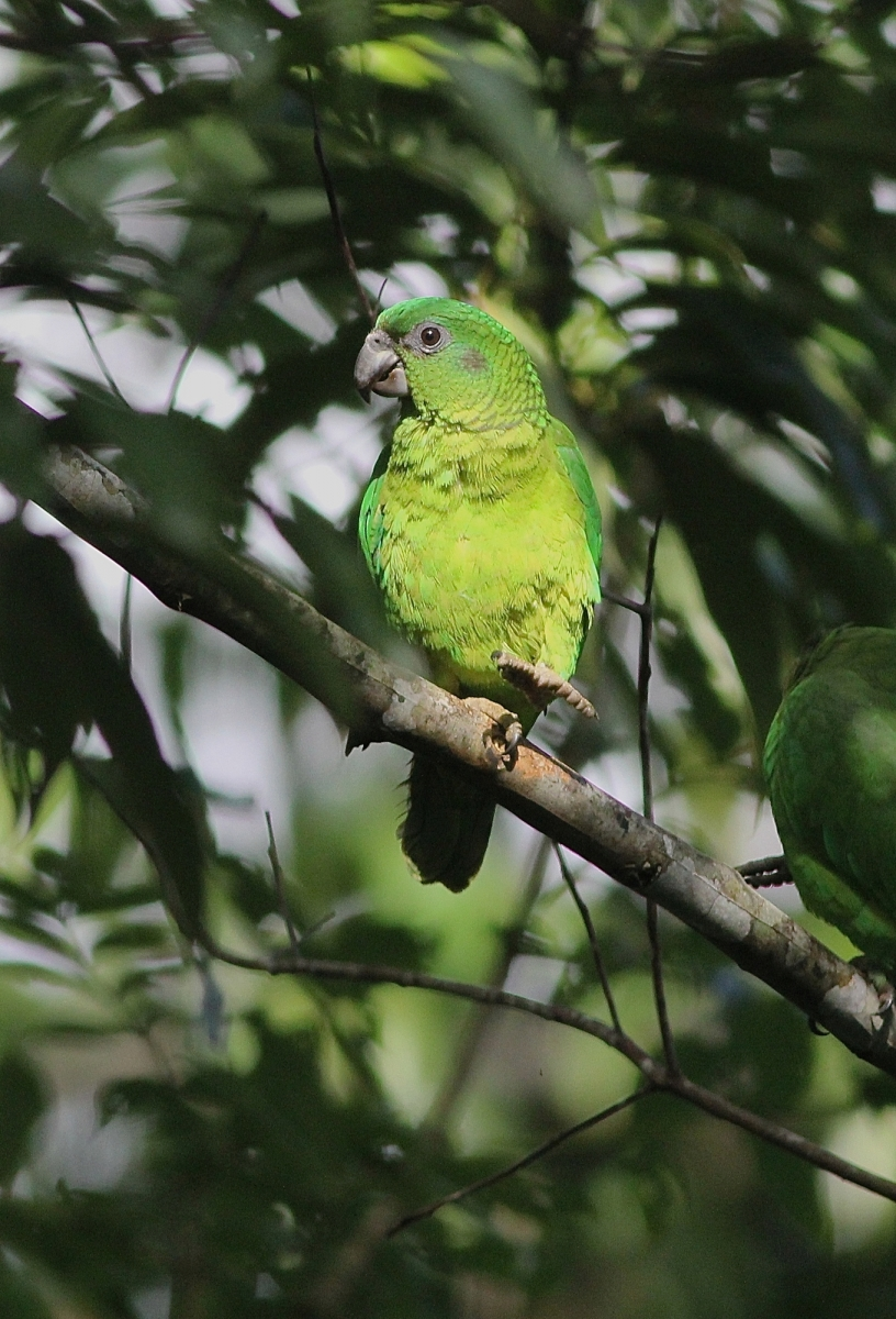 Black-billed Parrot - Photo by E Hynes