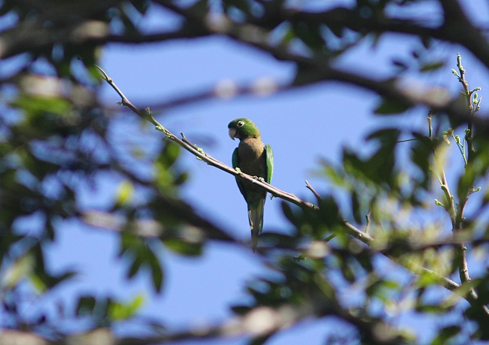 Olive-throated Parakeet - Photo by E Hynes