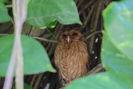 Jamaican Owl - Photo by E Hynes
