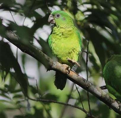 Black billed Parrot, photo taken by Eric Hynes - birds of Jamaica at Green Castle Eco Hotel