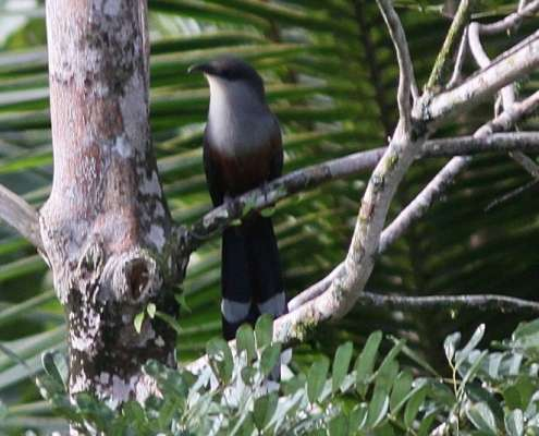 Chestnut bellied Cuckoo - birds of Jamaica at Green Castle Eco Estate