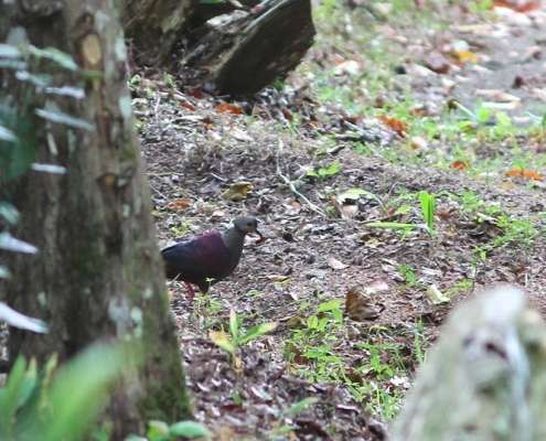 Crested Quail Dove taken by Eric Hynes Birds of Jamaica at Green Castle Estate
