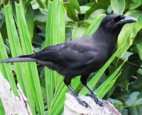 Jamaican Crow, photo courtesy of eBird - birds of Jamaica seen at Green Castle Hotel and Eco Park
