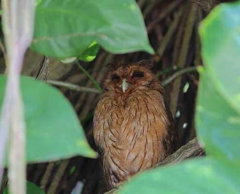 Jamaican Owl photo courtesy of Eric Hynes - birds of Jamaica seen at Green Castle Hotel and Eco park