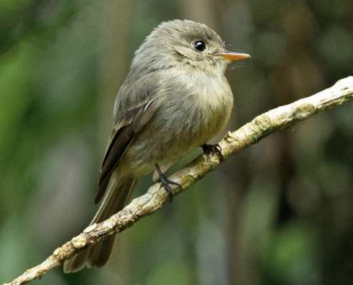 Jamaican Pewee photo courtesy of eBird. - birds of Jamaica at Green Castle Estate