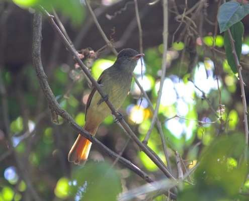 Rufous-tailed Flycatcher photo courtesy of Eric Hynes Birds of Jamaica Green Castle Bird watching tour