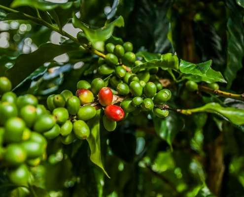 Blue Mountain Coffee Plantation Guided Tour from Green Castle Hotel